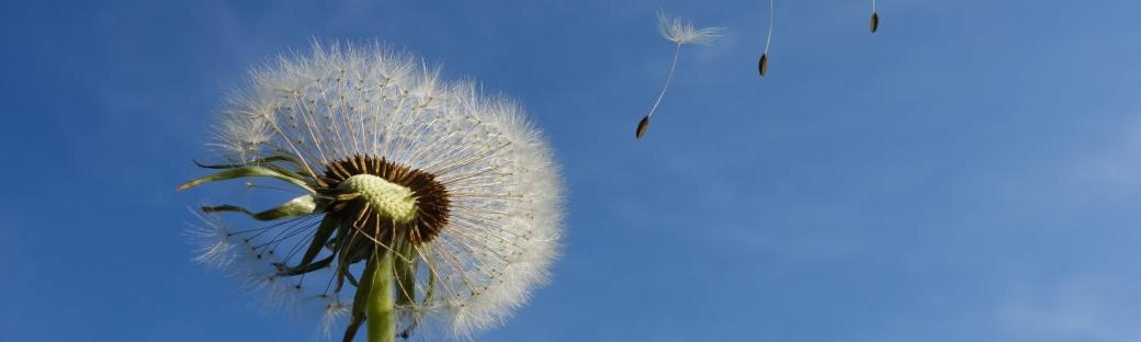dandelion-sky-flower-nature-39669